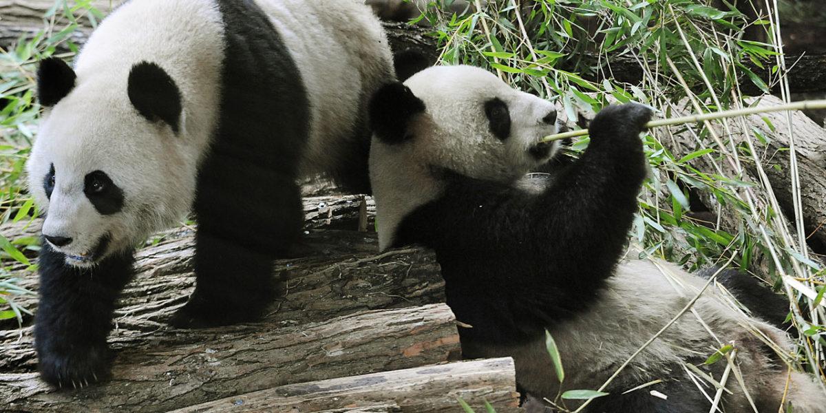 tout savoir sur la naissance des b b s pandas toutes les r ponses vos questions. Black Bedroom Furniture Sets. Home Design Ideas